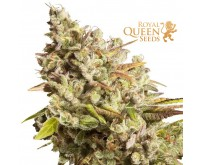 Royal Gorilla (Royal Queen Seeds) 3 Samen