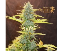 Fat Banana Automatic (Royal Queen Seeds) 3 Samen