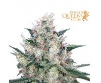 Honey Cream Fast Flowering (Royal Queen Seeds) 3 Samen