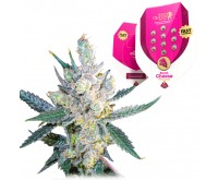 Royal Cheese Fast Flowering (Royal Queen Seeds) 5 Samen