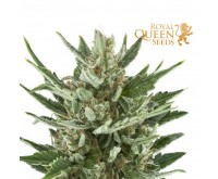 Speedy Chile Fast Flowering (Royal Queen Seeds) 3 Samen