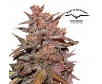 CBD Auto Blackberry Kush (Dutch Passion) 3 Samen