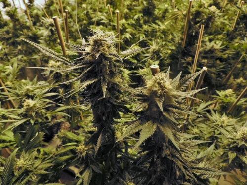 Wachsende Hanfpflanzen Dutch Headshop