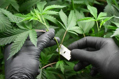 cannabis stecklinge herstellen